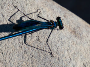 Calopteryx spendens male details